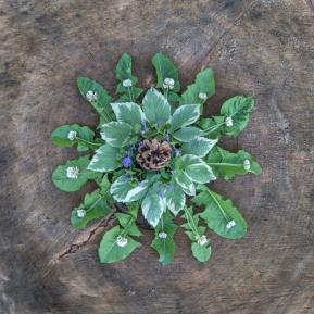Taxaxacum